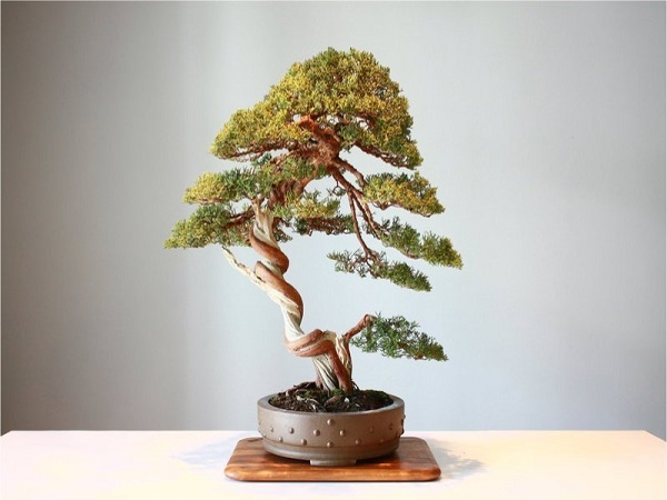 Tại sao cây cảnh bonsai lại có giá trên trời?