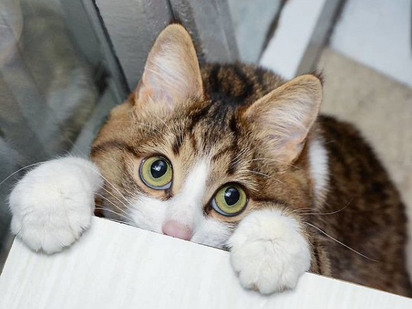 Mơ thấy mèo biến thành gà là điềm báo gì, đánh con nào để trúng?