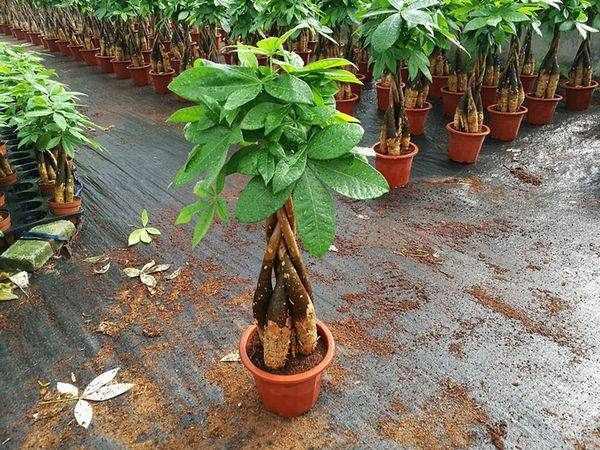 Top 3 cây phong thủy hút tài lộc nên trồng trong nhà